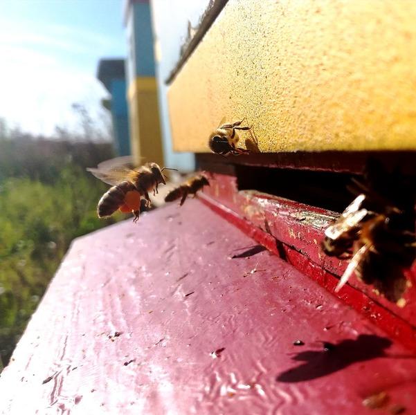 Pszczoła wracająca do ula z pyłkiem