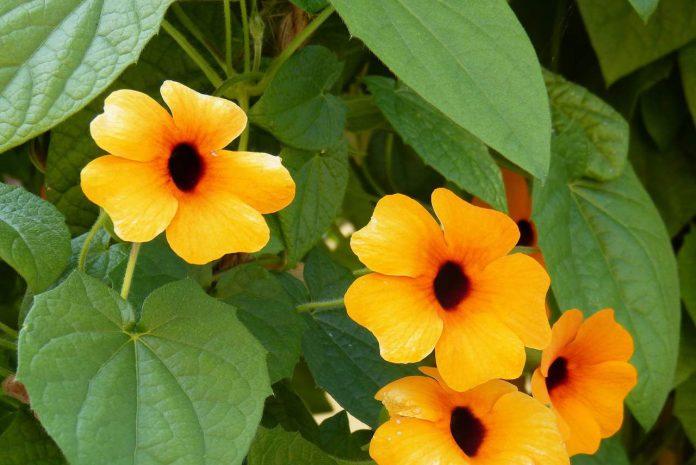 tunbergia
